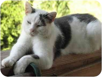 Domestic Shorthair Cat for adoption in Parkersburg, West Virginia - Nickee