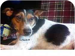 Jack Russell Terrier Dog for adoption in Austin, Texas - Ivy Sue