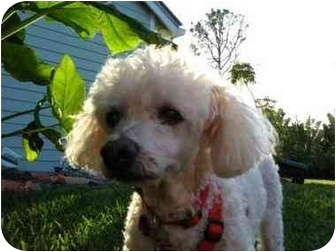 Poodle (Miniature) Dog for adoption in Melbourne, Florida - LONNIE