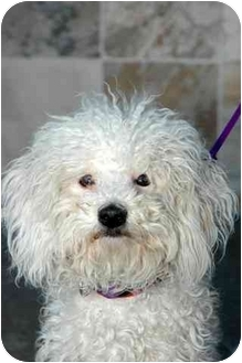 Poodle (Miniature) Dog for adoption in Vista, California - Chanel