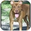 Photo 4 - American Pit Bull Terrier Puppy for adoption in Tampa, Florida - Autumn Rose