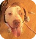 Pit Bull Terrier Dog for adoption in north hollywood, California - Odin