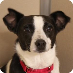 Rat Terrier Mix Dog for adoption in Naperville, Illinois - Lola