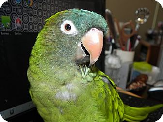 Conure for adoption in St. Louis, Missouri - Tinker