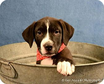 American Pit Bull Terrier/Shepherd (Unknown Type) Mix Puppy for adoption in Lapeer, Michigan - Pumba
