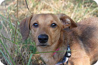 Dachshund Mix Dog for adoption in Waldorf, Maryland - Gidgett