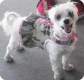 Maltese Mix Dog for adoption in Castro Valley, California - Princess