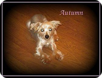 Yorkie, Yorkshire Terrier Dog for adoption in Denver, North Carolina - Autumn