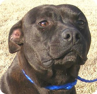 Labrador Retriever/Bull Terrier Mix Dog for adoption in Olive Branch, Mississippi - Susie-q