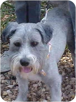 Schnauzer (Miniature)/Terrier (Unknown Type, Small) Mix Dog for adoption in Spring Valley, California - Oreo