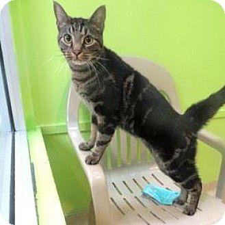 Domestic Shorthair Cat for adoption in Janesville, Wisconsin - Charleston