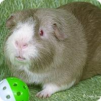 Adopt A Pet :: Harvey - Santa Barbara, CA