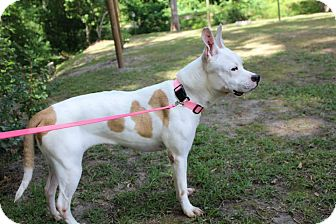 American Staffordshire Terrier/Bulldog Mix Dog for adoption in Lumberton, North Carolina - Penelope