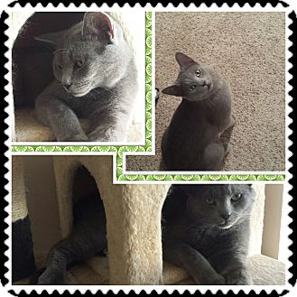 Russian Blue Cat for adoption in Cedar Springs, Michigan - Baby Blue