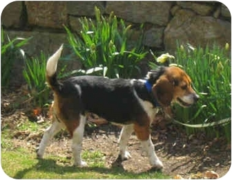 Beagle Mix Dog for adoption in Blairstown, New Jersey - April