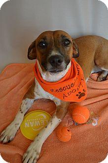 Terrier (Unknown Type, Medium) Mix Dog for adoption in Aurora, Colorado - Pippa