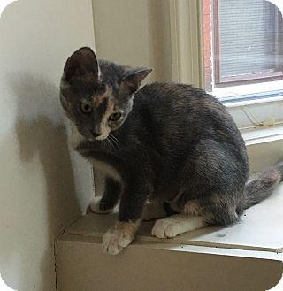 Calico Kitten for adoption in Colmar, Pennsylvania - Ivy