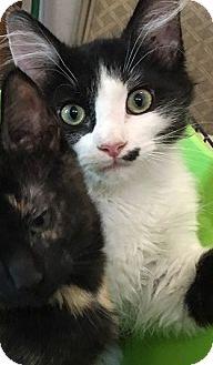 Domestic Shorthair Kitten for adoption in Hillside, Illinois - Shayla-4 MONTHS