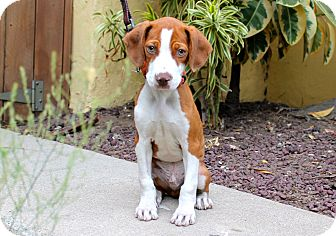 Beagle/American Staffordshire Terrier Mix Dog for adoption in Los Angeles, California - Niko