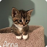 Adopt A Pet :: Anna (bottle fed) - Sterling Hgts, MI