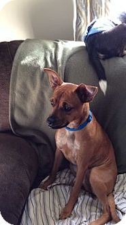Miniature Pinscher Mix Dog for adoption in Greensboro, Maryland - Candy