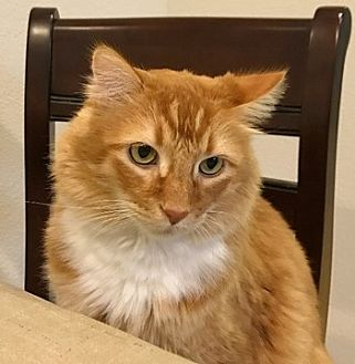 Domestic Mediumhair Cat for adoption in Fremont, California - Oliver 09-3604 (Whiskie)
