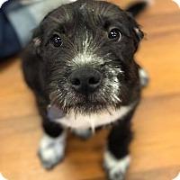 Adopt A Pet :: Pepa - Dayton, OH