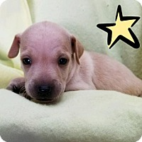 Adopt A Pet :: Hopes 7 -Hero - Colton, CA