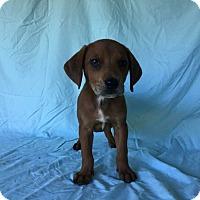 Adopt A Pet :: Snoop - Charelston, SC