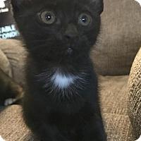 Adopt A Pet :: Cocoa - Walnut Creek, CA