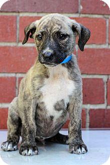 Plott Hound Mix Puppy for adoption in Waldorf, Maryland - Evan