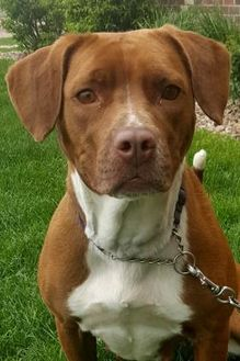 American Pit Bull Terrier Mix Dog for adoption in Grand Island, Nebraska - Shayla
