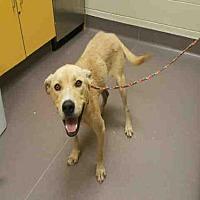 Adopt A Pet :: A030962 - Norman, OK