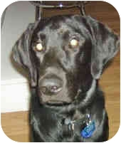 Labrador Retriever Dog for adoption in Murphysboro, Illinois - Missing!!!  Cole
