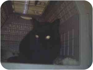 Domestic Shorthair Cat for adoption in Seattle, Washington - Maxine-IN VANCOUVER