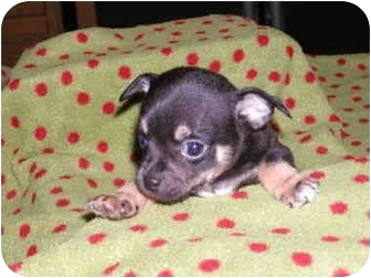 Chihuahua Mix Puppy for adoption in San Diego, California - Sanders