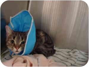 Manx Cat for adoption in Nichols Hills, Oklahoma - Pazza Fuego