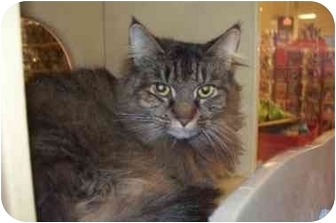 Maine Coon Cat for adoption in East Stroudsburg, Pennsylvania - Samantha