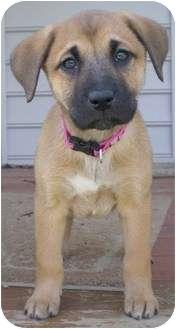 Shepherd (Unknown Type)/Labrador Retriever Mix Puppy for adoption in Front Royal, Virginia - Chloe