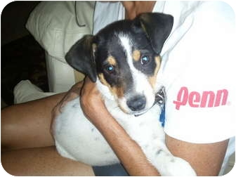 Jack Russell Terrier/Pointer Mix Puppy for adoption in Dallas/Ft. Worth, Texas - Olie in Longview