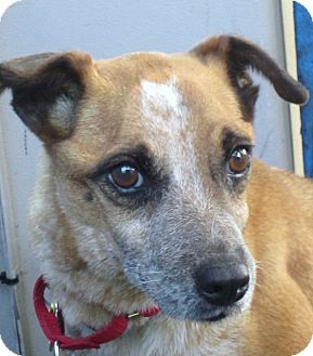 Australian Cattle Dog/Rat Terrier Mix Dog for adoption in Delano, Minnesota - Tasha