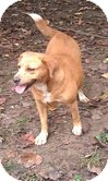 Beagle Mix Dog for adoption in Foster, Rhode Island - Honey-Reduced Fee!