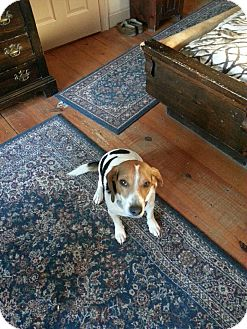 Beagle/Basset Hound Mix Dog for adoption in West Hartford, Connecticut - Archie- In CT