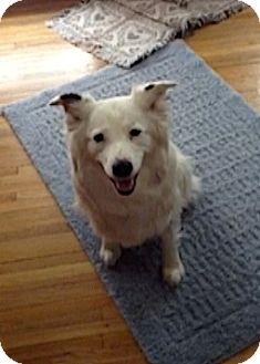 Australian Shepherd Dog for adoption in Minneapolis, Minnesota - Tildie
