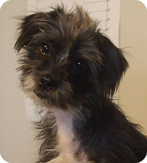 Scottie, Scottish Terrier/Lhasa Apso Mix Dog for adoption in Prole, Iowa - Carrie