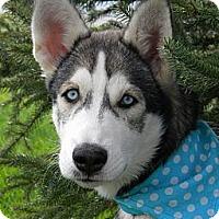 Adopt A Pet :: Zima - Monteregie, QC