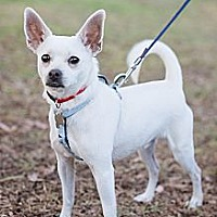 Italian Greyhound/Chihuahua Mix Dog for adoption in Sherman Oaks, California - Angel
