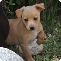 Adopt A Pet :: Woody - La Habra Heights, CA