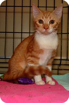 Domestic Shorthair Kitten for adoption in Houston, Texas - Daphne