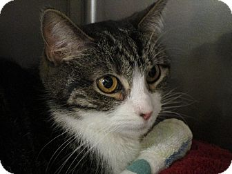 Domestic Shorthair Cat for adoption in San Leandro, California - Squeak